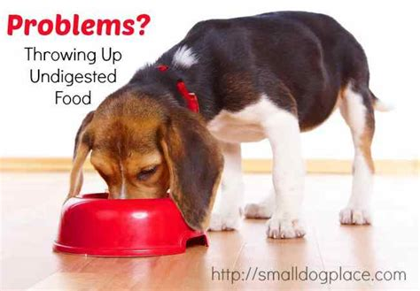 Why is the dog throwing up undigested food